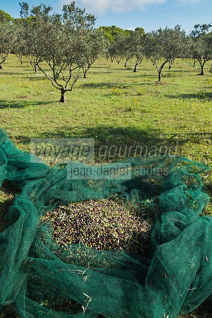 Europe/Provence-Alpes-Côte d'Azur/83/Var/Iles d'Hyères/Ile de Porquerolles:  Marie-Claude Cano récolte les olives des  vergers-conservatoires  du Conservatoire botanique national méditerranéen de Porquerolles, plus de 110 variétés d'oliviers, sur l'île de Porquerolles