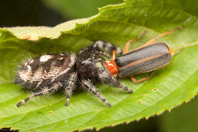 A female Bold Jumper (Phidippus audax) holds on to her captured soldier beetle (Podabrus tomentosus) prey.