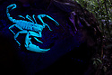Giant Black Forest Scorpion (Heterometrus sp.), fluorescing under ultraviolet light. Danum Valley, Sabah, Borneo. June.