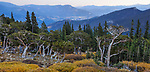 A bristlecone pine forest along the road to Mount Evans in the rocky mountains, Colorado, USA