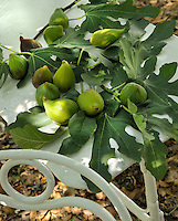 Fresh figs lie on a bed of figleaves on a table in the garden