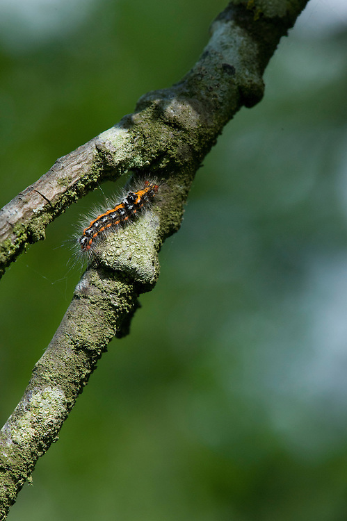 Caterpillar of yellow-tail moth (Euproctis similis) in a greengage tree, East Sussex, late May.