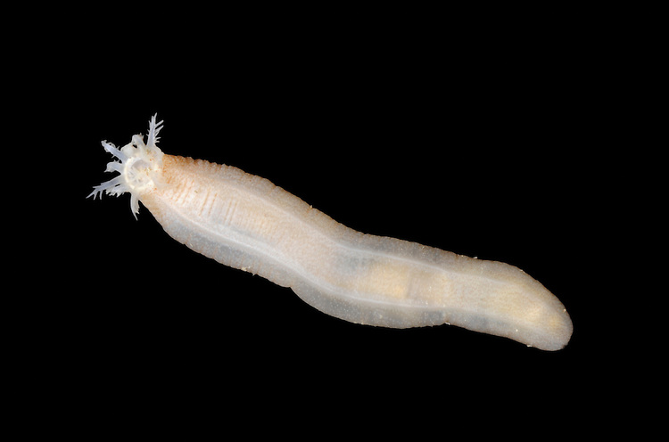 Leptosynapta inhaerens