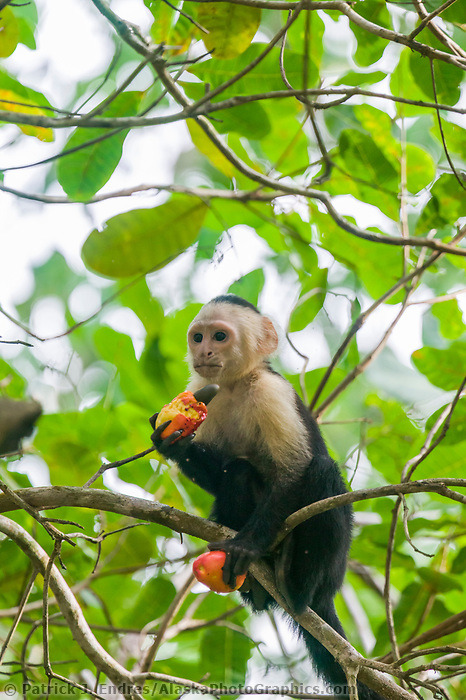 White-throated Capuchin monkey, Costa Rica, Central America