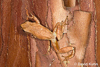 0811-0906  Spring Peeper Frog Climbing on Red and Orange Bark on Tree Trunk, Pseudacris crucifer (formerly: Hyla crucifer)  © David Kuhn/Dwight Kuhn Photography