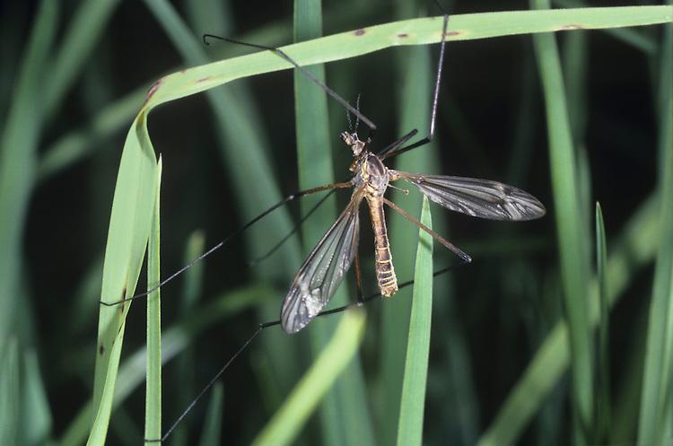 Crane Fly - Tipula maxima