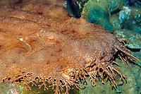 tassled wobbegong, Eucrossorhinus dasypogon, Papua New Guinea, Pacific Ocean