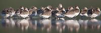 Flock of White-rumped Sandpipers (Calidris fuscicollis) sleeping, East Pond, Jamaica Bay Wildlife Refuge