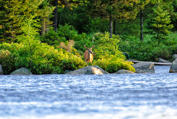 Male whitetail deer with velvet antlers in Russell pond, Baxter State Park.