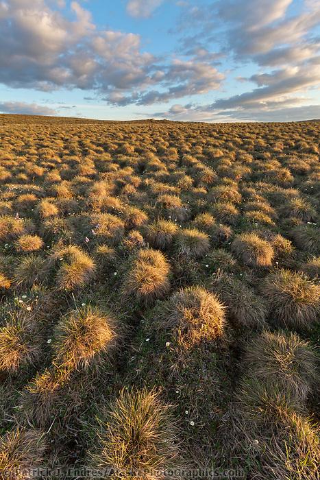 Tundra tussocks, Utukok Uplands, National Petroleum Reserve Alaska, Arctic, Alaska.