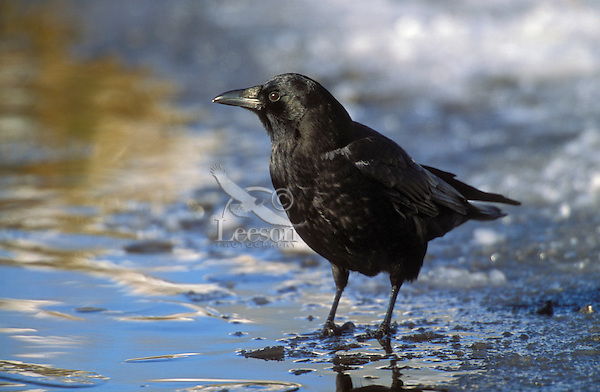 Common Crow/American Crow. Winter. British Columbia, Canada. (Corvus brachyrhynchos).
