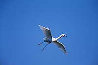 A Snowy egret (E. thula)in flight, mouth open to communicate to other egrets.