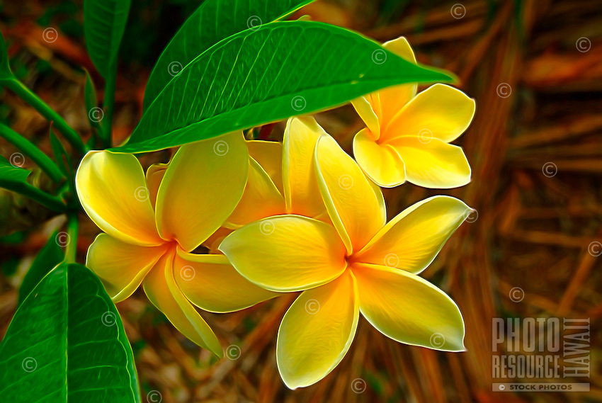 A close-up of yellow plumeria flowers, O'ahu.