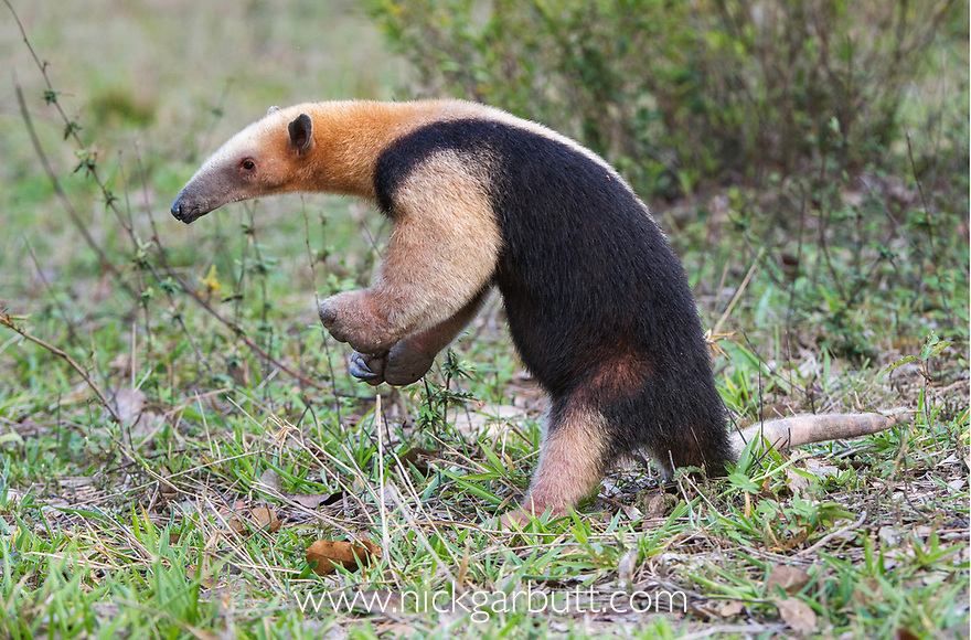 Southern Tamandua (Tamandua tetradactyla) (also called the Collared Anteater or Lesser Anteater) in defensive posture. Northern Pantanal, Mato Grosso State, Brazil.