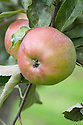Apple 'Jersey Beauty', mid September. An English dessert apple thought to come from the Isle of Wight, 1926.