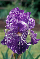 Irises Flowers Stock Photos
