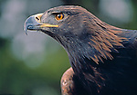 Portrait of strength, the Golden eagle (Aquila chrysaetos), Rocky Mtns, CO