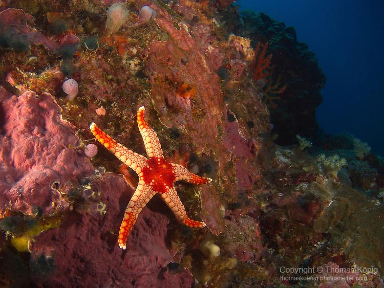 'Grand Canyon' (Da Xia Gu), Green Island -- Sea star (Fromia monilis) on a rock.