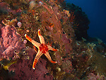 'Grand Canyon' (Da Xia Gu), Green Island -- Sea star (Fromia monilis) on a rock.