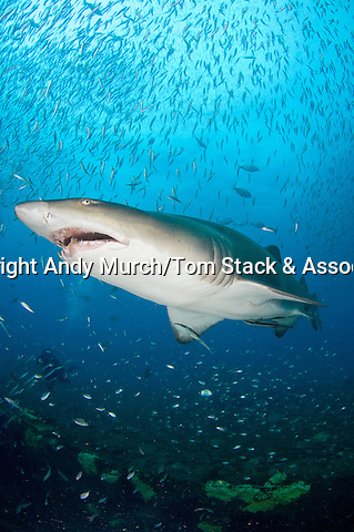 Sandtiger shark, Carcharias taurus, on the wreck of The Spar, Morehead City, North Carolina, USA, Western North Atlantic Ocean.