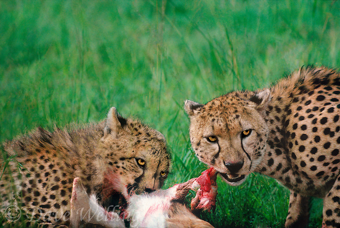 615004060 highly endangered wild cheetahs acinonyx jubatus mother and cub feeding on a thompsons gazelle kill in masai mara reserve kenya