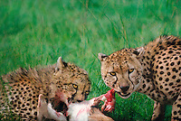 615004060 highly endangered wild cheetahs acinonyx jubatus mother and cub feeding on a thompsons gazelle kill in masai mara reserve kenya