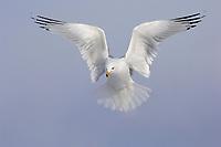 Adult Ring-billed Gull (Larus delawarensis) in breeding (alternate) plumage in hovering. Ontario County, New York. February.