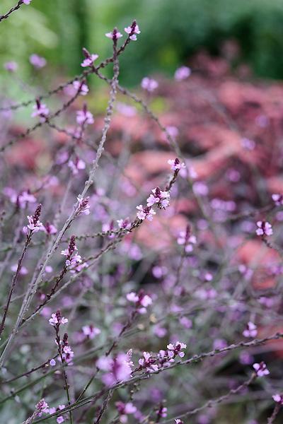 Verbena officinalis 'Bampton' Purple Form