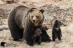 Grizzly bear sow and her three young cubs. Yellowstone National Park, Wyoming.