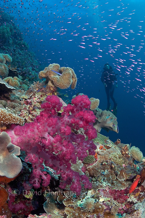 Alcyonarian coral dominates this reef scene with schooling anthias and a diver (MR). Indonesia.