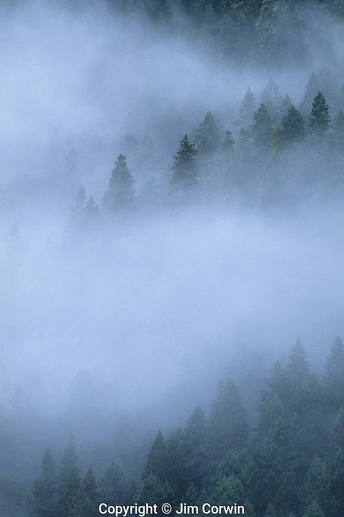 Evergreen trees in fog Olympic Peninsula.