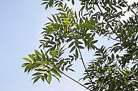 Gemeine Esche, Gewöhnliche Esche, Blätter, Blatt, Fraxinus excelsior, Common Ash, European Ash