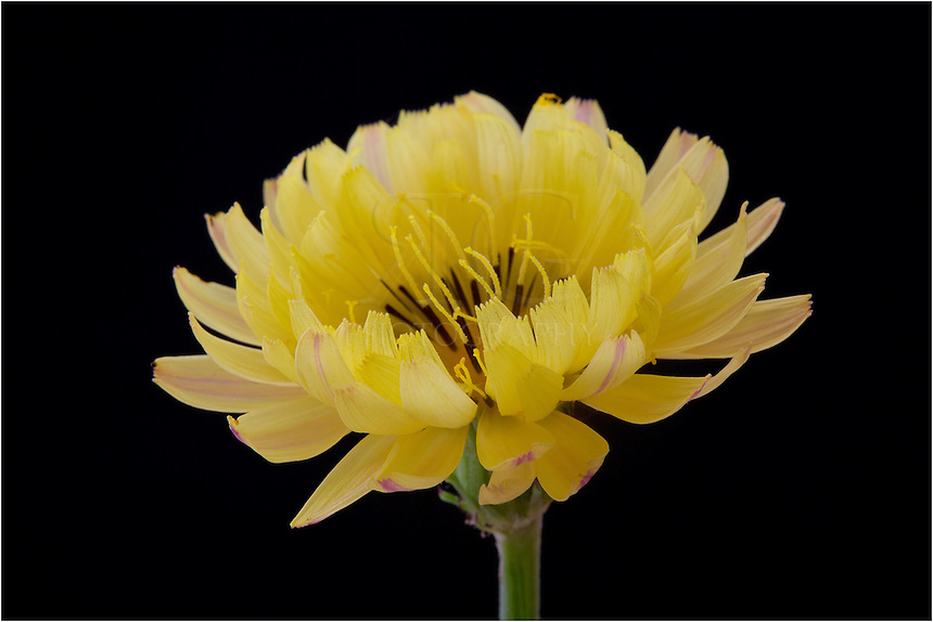 The Texas Dandelion, one of the most common Texas Wildflowers, offers golden petals that open in the morning and close up in the afternoon The young leaves of the dandelion can often be used in garden salads, but come with a bitter taste.