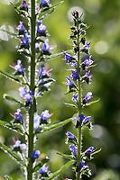 Gewöhnlicher Natternkopf, Natternkopf, Natternzunge, Echium vulgare, Viper´s Bugloss, Vipérine