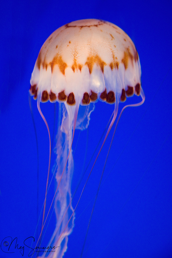 Jellyfish are found in every ocean, from the surface to the deep sea. Some jellyfish inhabit freshwater; freshwater jellyfish are less than an inch (2.5 cm) in diameter, are colorless and do not sting. Large, often colorful, jellyfish are common in coastal zones worldwide. Jellyfish have roamed the seas for at least 500 million years, and possibly 700 million years or more, making them the oldest multi-organ animal. The jellies here were happily living in the Monterrey Bay Aquarium.