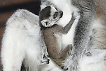 Foto: VidiPhoto<br /> <br /> RHENEN – Vreugde en verdriet liggen soms dicht bij elkaar. Letterlijk. Terwijl een roloway-moeder in Ouwehands Dierenpark treurt om haar overleden jong, genieten 100 meter verder twee makimoeders vrijdag in het lentezonnetje van hun pasgeboren kroost. Nu de lente aanbreekt, maken de Nederlandse dierentuinen zich op voor een nieuwe geboortegolf. Zo ook Ouwehands Dierenpark in Rhenen. Bij de ringstaartmaki's zijn inmiddels twee jongen geboren en twee dames zijn nog zwanger.