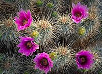 Anza-Borrego Desert State Park: Detail of blossoming Hedgehog cactus (Echinocereus engelmannii)