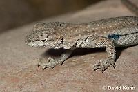 0613-1004  Side-blotched Lizard, Uta stansburiana (syn. Uta antiqua or Uta stellata)  © David Kuhn/Dwight Kuhn Photography