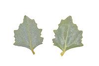 Frosted Orache - Atriplex laciniata