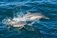 Long-beaked Common Dolphin pod (Delphinus capensis) encountered off Isla Espiritu Santo in the southern Gulf of California (Sea of Cortez), Baja California Sur, Mexico.