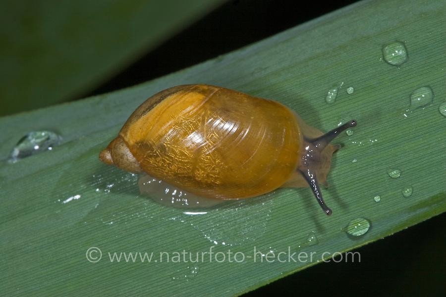 Gemeine Bernsteinschnecke, Bernstein-Schnecke, Succinea putris, rotten amber snail, large amber snail, European ambersnail