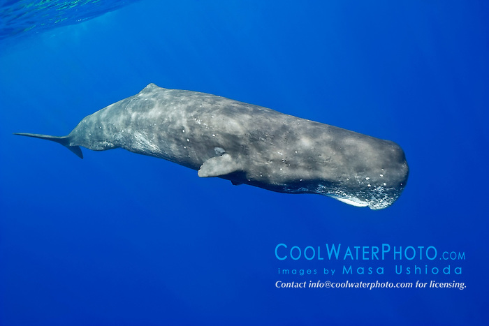 sperm whale, Physeter macrocephalus, Hawaii, USA, Pacific Ocean