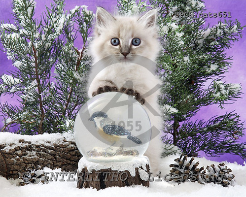 Xavier, ANIMALS, cats, photos, SPCHcats651,#A#