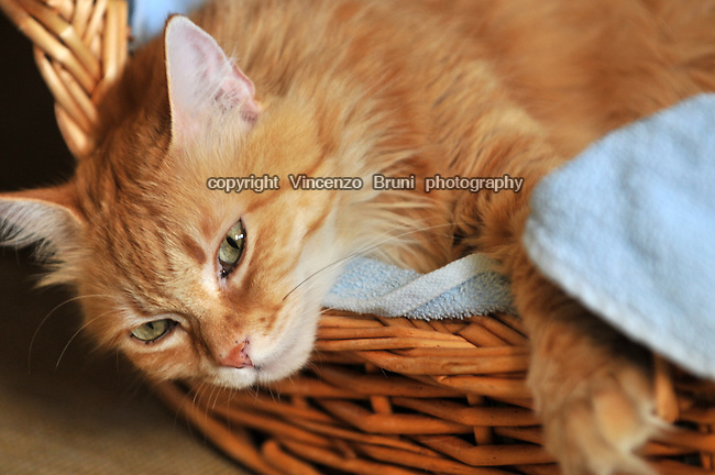 A long haired red tabby she-cat laying in a basket