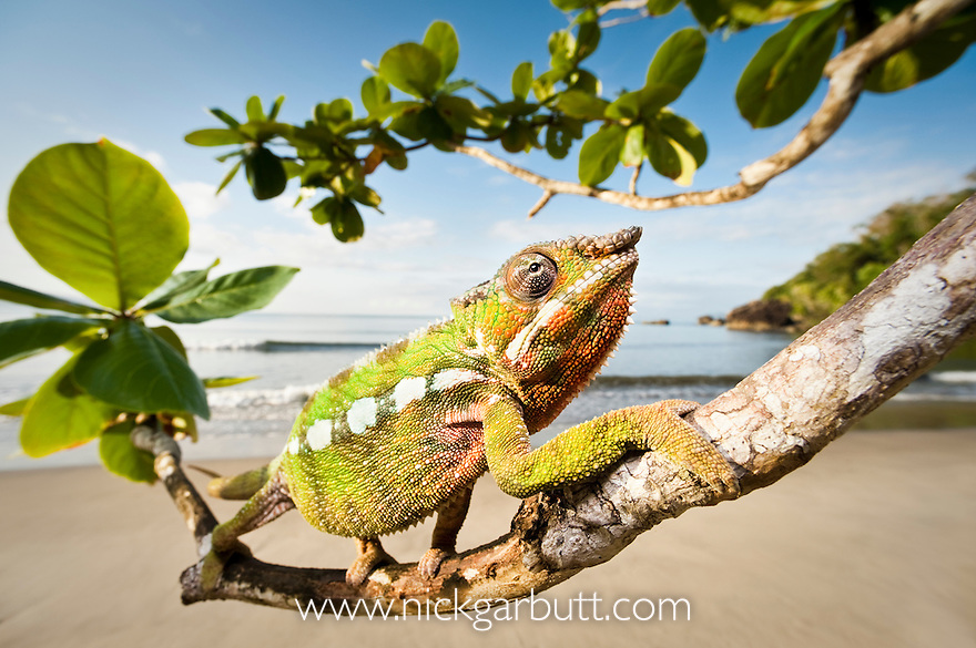 Male Panther Chameleon (Furcifer pardalis) stalking prey in beach side vegetation. Bay of Antongil, Masoala Peninsula National Park, north east Madagascar.