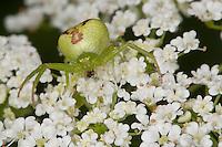 Dreieck-Krabbenspinne, Krabbenspinne lauert auf Blüte auf Beute, Weibchen, Ebrechtella tricuspidata, Misumenops tricuspidatus, Triangle Crab Spider, Krabbenspinnen, Thomisidae, crab spiders