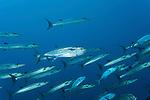 Schooling Chevron barracuda (Sphyraena qenie) with Dogtooth tuna (Gymnosarda unicolor)