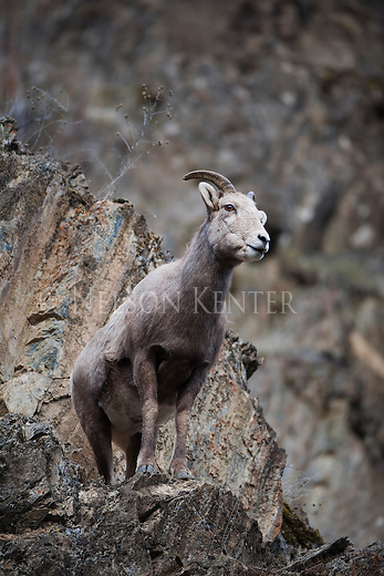 Bighorn Sheep ewe in the rocky cliffs above Rock Creek in Montana