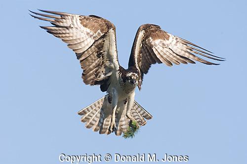 Osprey (Pandion haliaetus) Western Montana.