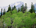 """Aspen grove, Hallett Peak, Rocky Mountain National Pak"